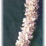 White Orchid Haku (head) Lei