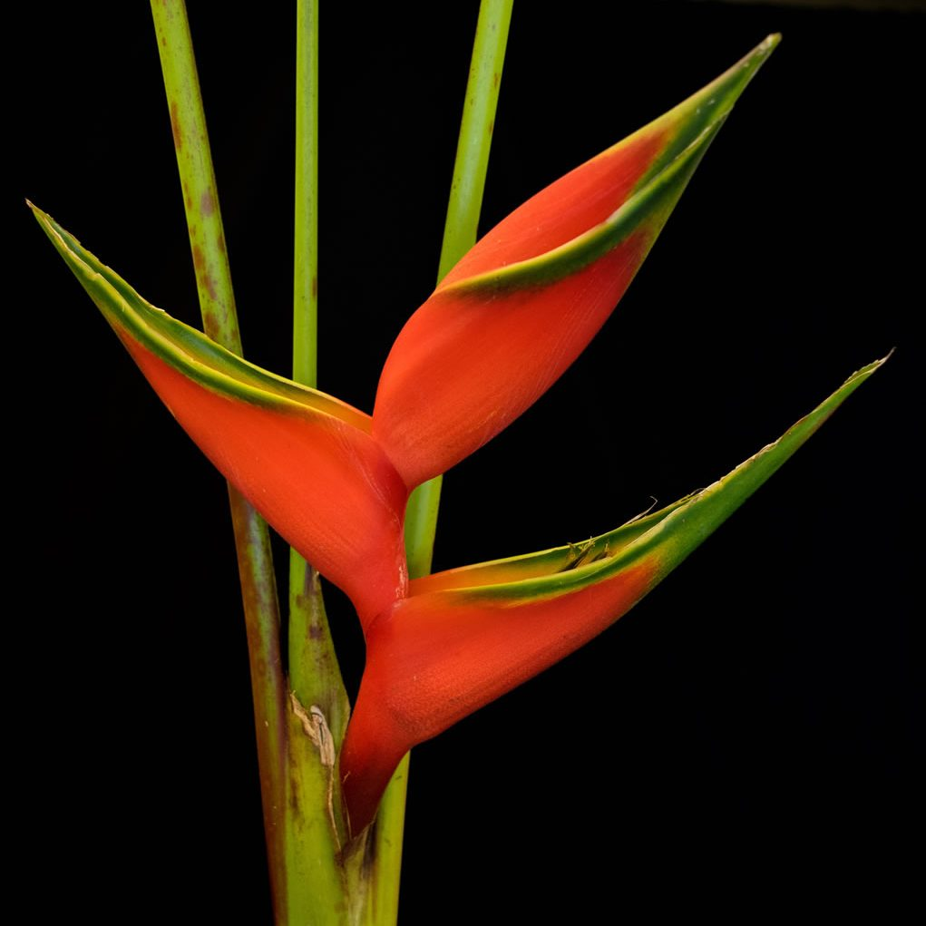 flowers heliconia lobsterclaw