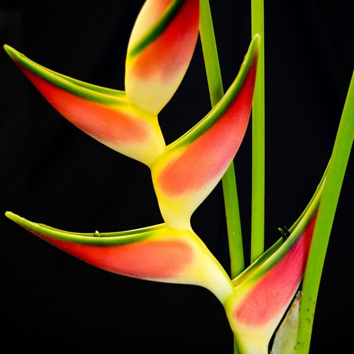 flowers_heliconia_orthotrica