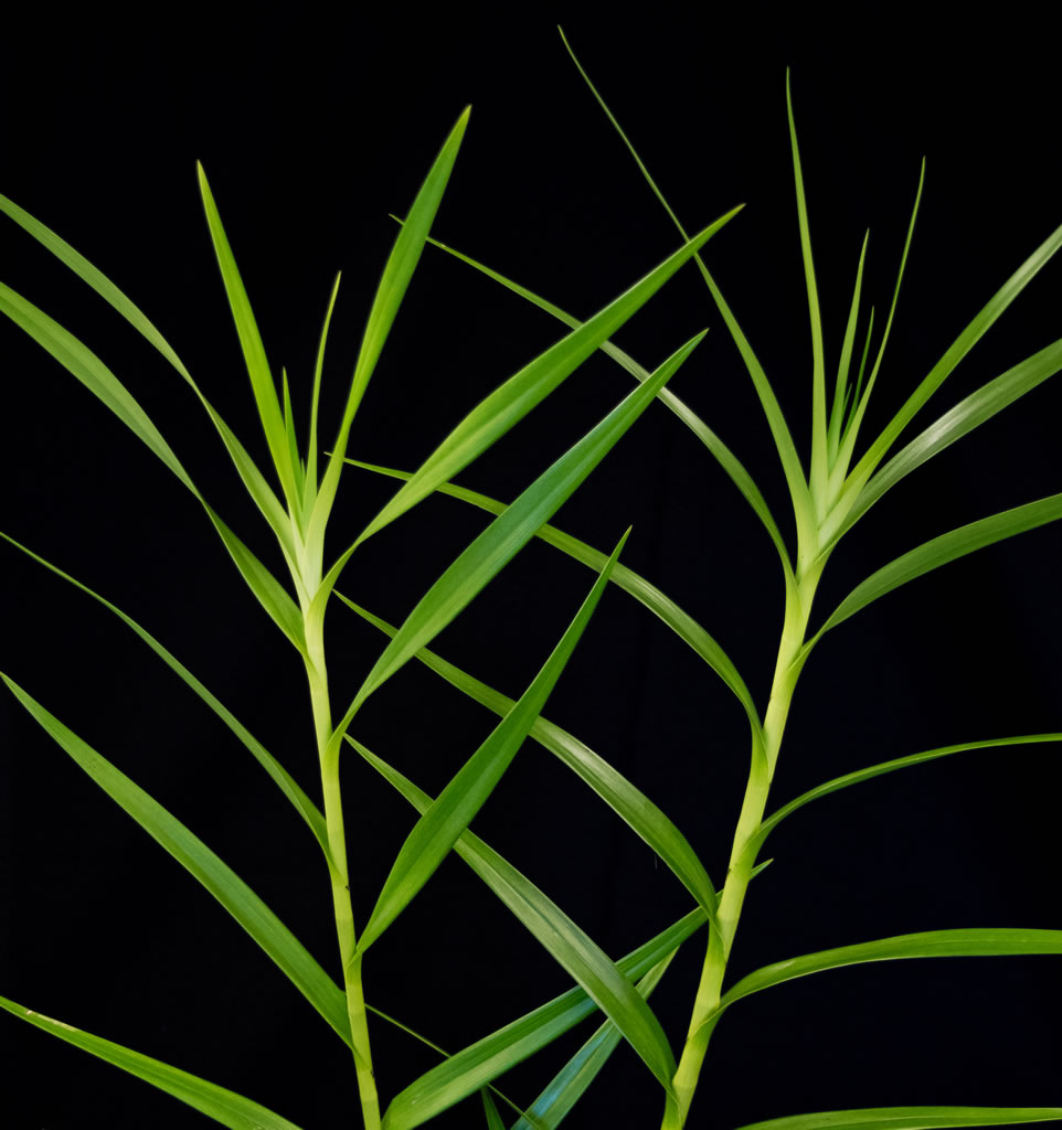 Bamboo Orchid Stems