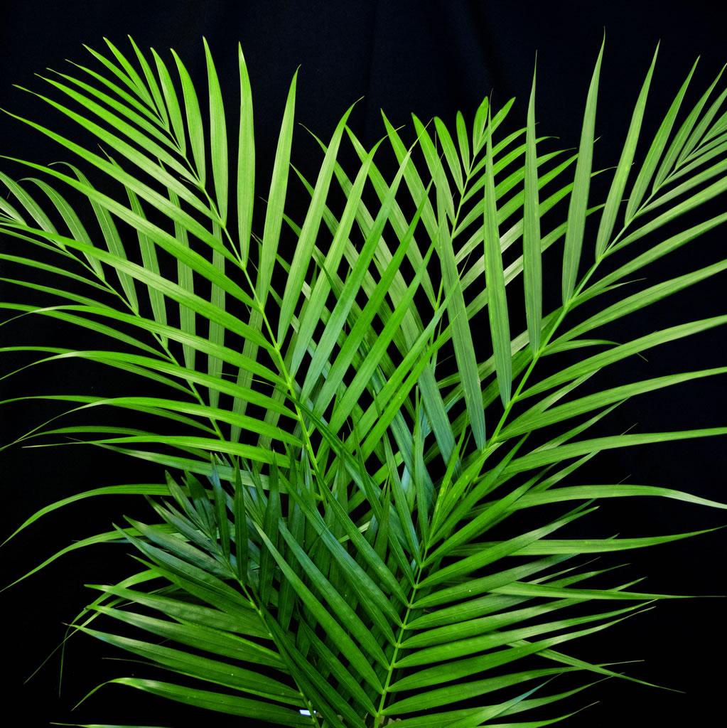 areca palm leaves gecko farms