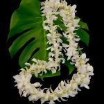 White Dendrobium Lei with Rosebuds
